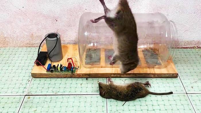 Крысоловки своими руками - как их сделать?