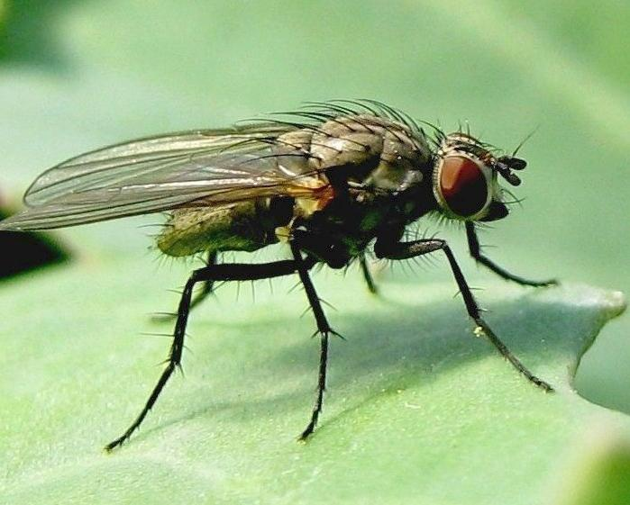 Капустная муха: виды, способы борьбы с ней — насекомые вредители