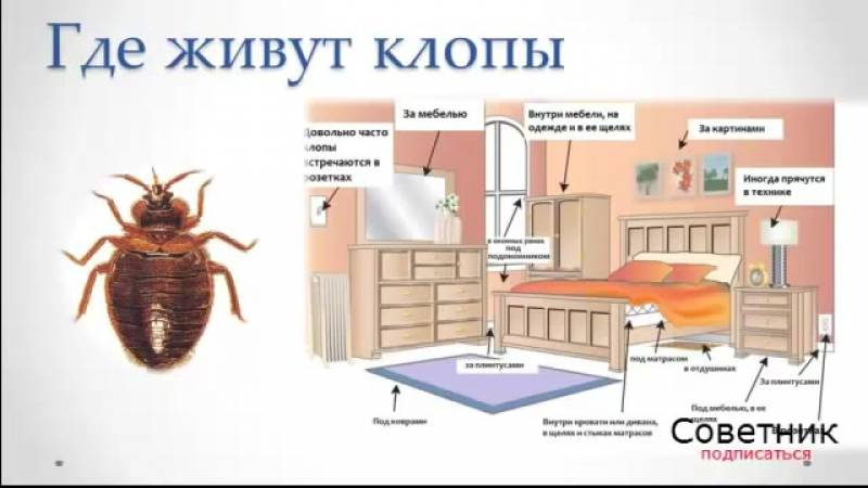 Как найти клопов в квартире самостоятельно, где прячутся, как выглядят личинки