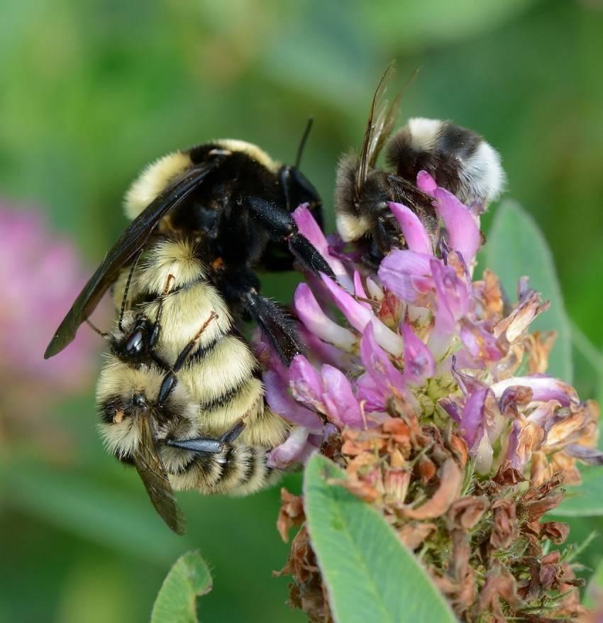 Шмель: основные виды, описание, образ жизни экологическая роль ближайшего родственника медоносной пчелы