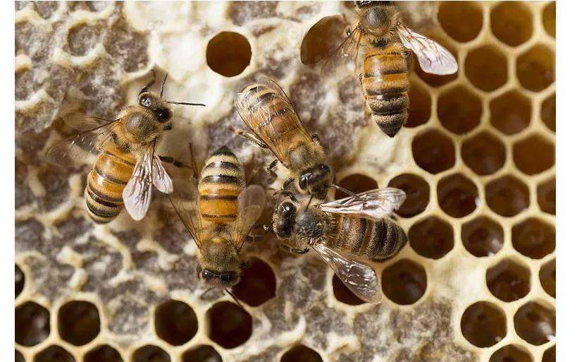 Об осином меде: делают ли осы мед, как собирают и производят осиный мед