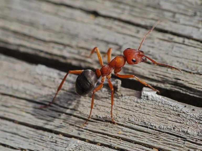 Фараоновы муравьи: особенности и методы борьбы