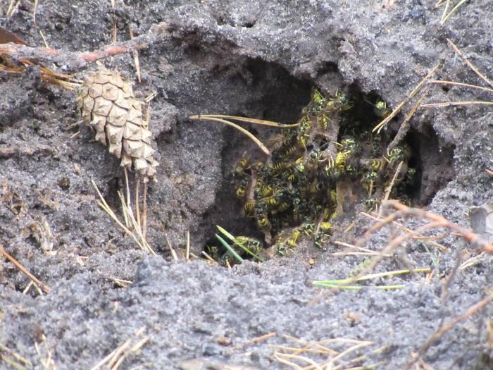 Земляные осы: как избавиться и уничтожить их гнезда на дачном участке?