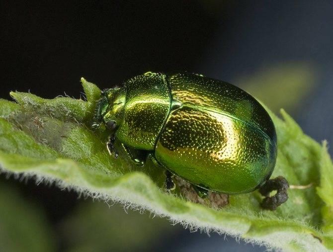 Дубовая листовертка: внешний вид и меры борьбы с насекомым