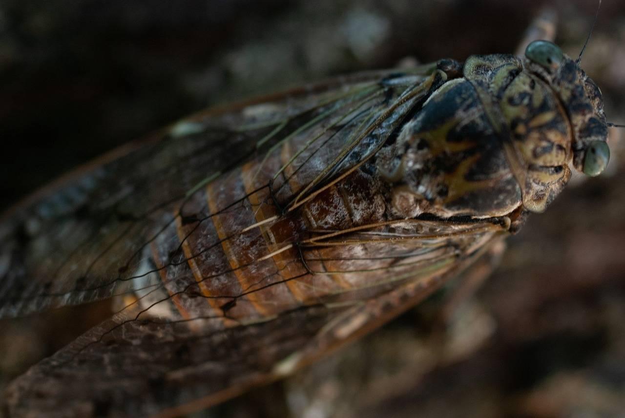 Цикада – фото и описание насекомого