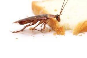 Кусаются ли тараканы и как предостеречься от с укусов