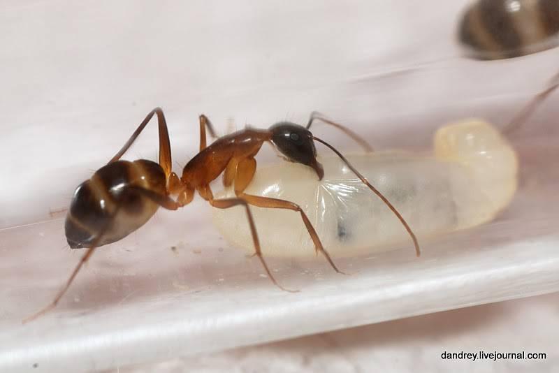 Схема строения тела муравья