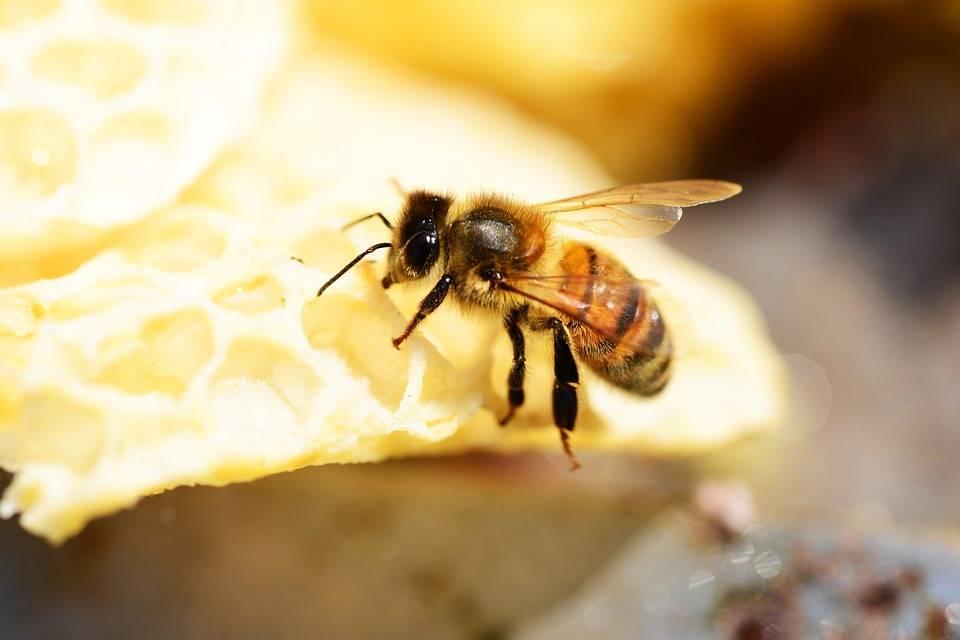 Враги пчел – список, описание, фото и видео