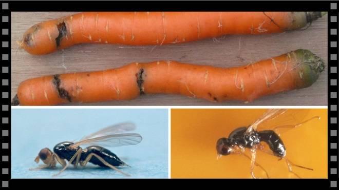 Морковная муха: как с ней бороться народными средствами на грядке?