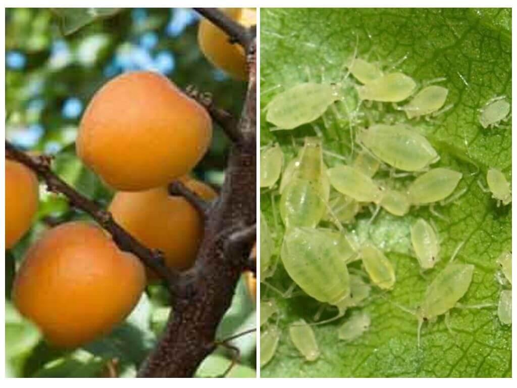 Тля на абрикосе как бороться? тля на абрикосе как избавиться? чем обработать тлю на... - животные и растения - вопросы и ответы