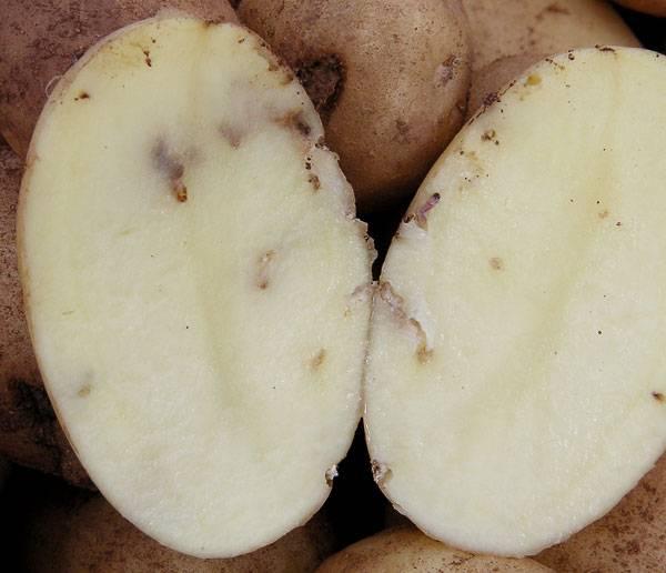 Как избавиться от картофельной моли | вырасти сад!
