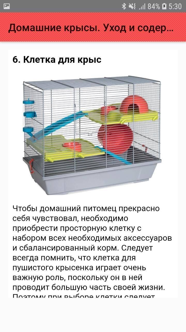Как ухаживать за декоративными крысами в домашних условиях