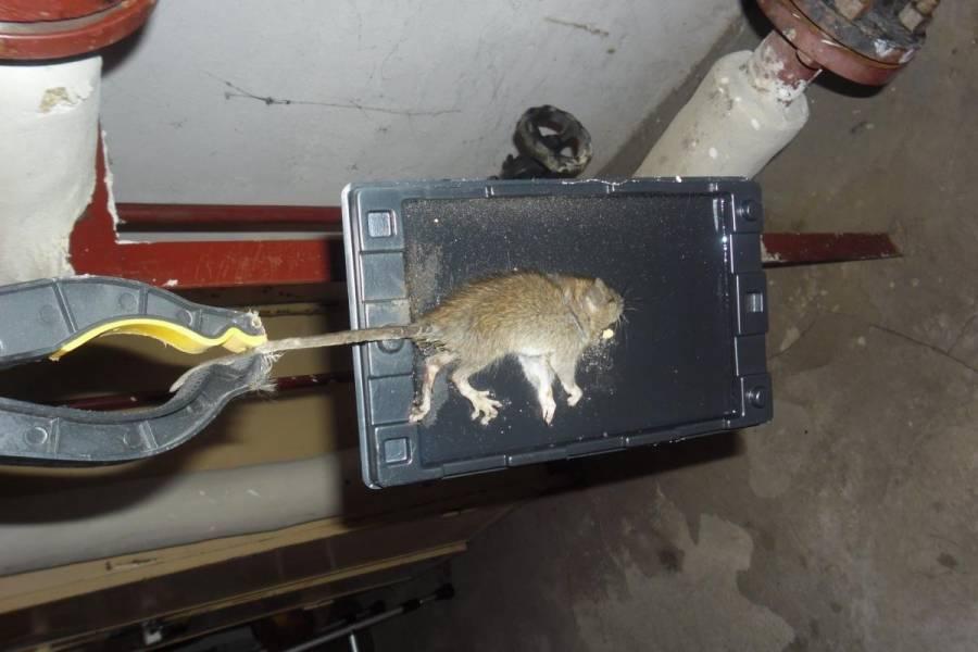 Приманка для мышей в мышеловке, что лучше положить 2021