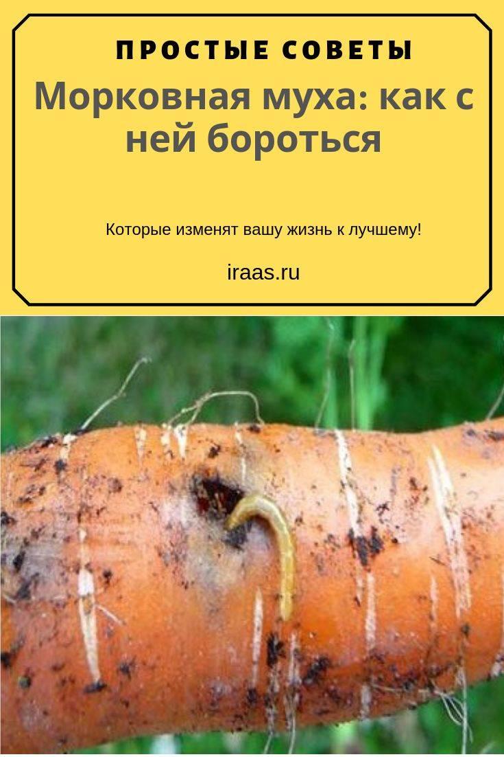 Морковная муха: как с ней бороться, чтобы избавиться навсегда?