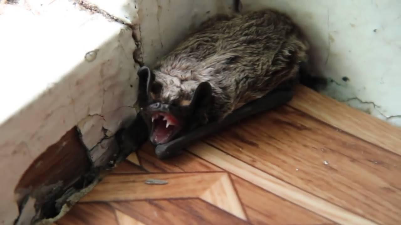 Как избавиться от летучих мышей (в доме, квартире или на даче)
