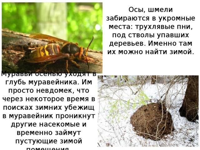 Как и где зимуют осы в природе, когда покидают гнездо