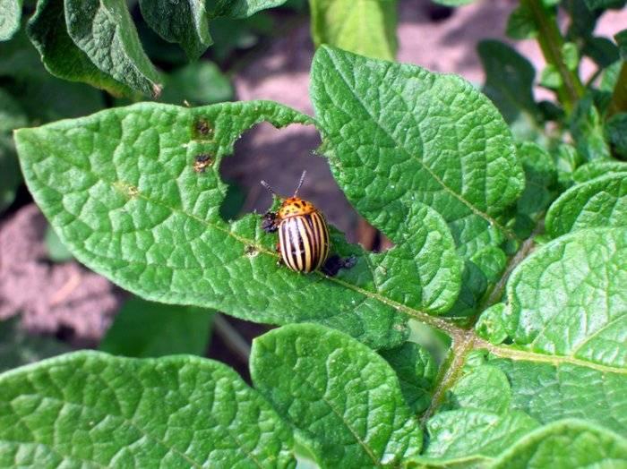 Откуда взялся в россии колорадский жук. ссср и колорадские жуки