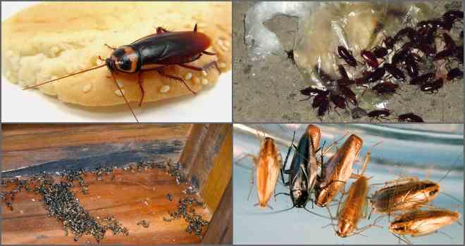Как опознать черного таракана и методы борьбы с ним