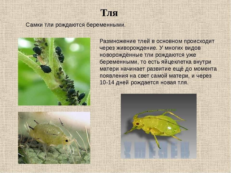 Тля – экскурсия в жизнь мелкого паразита