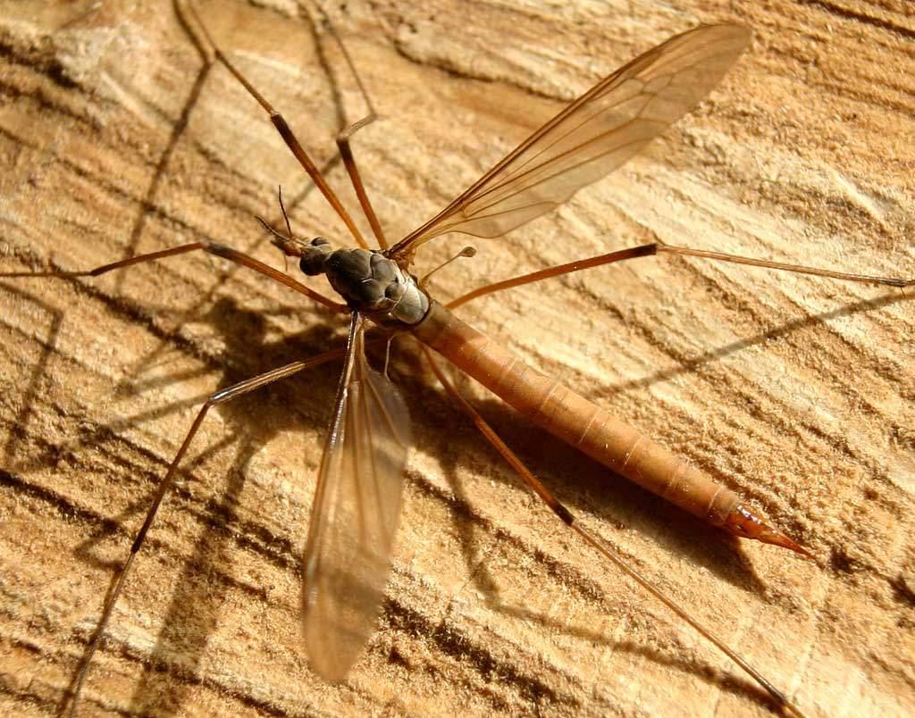 Kомар долгоножка (карамора): опасен ли большой комар и может ли кусать человека