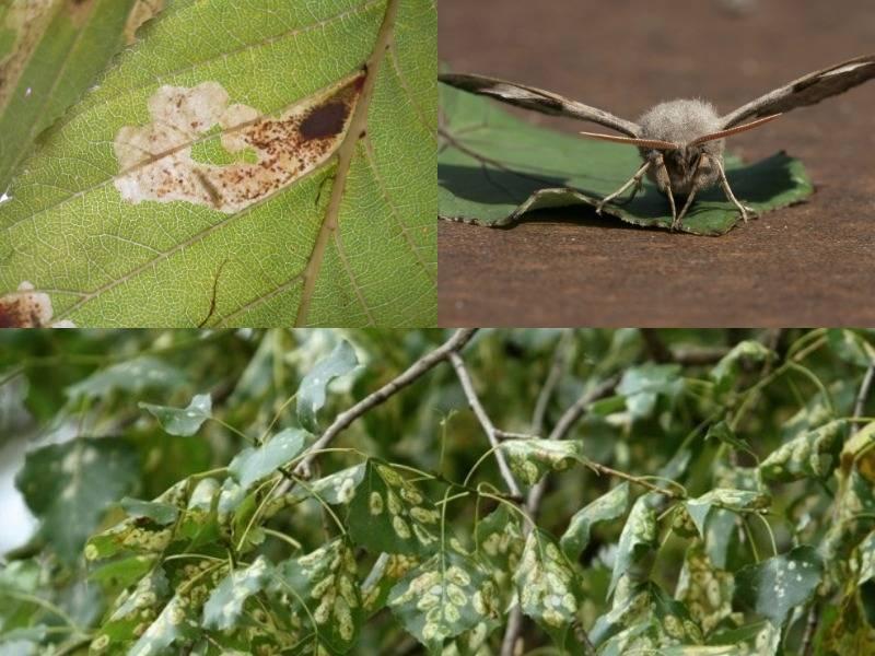 Как эффективно бороться с тополиной молью в квартире: инсектициды и механические способы