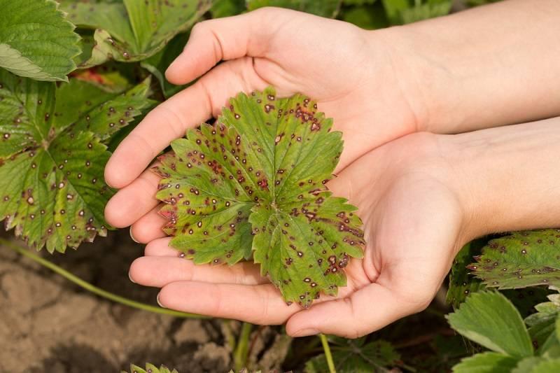 10 способов борьбы с земляничным клещом на клубнике – отзывы садоводов