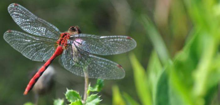 Рыжая стрекоза — плоскобрюхая хищница