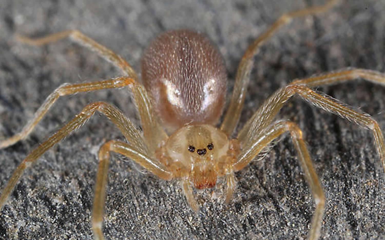 Домовой паук отшельник: где водится в россии, насколько опасен и какие последствия от укуса, фото паука