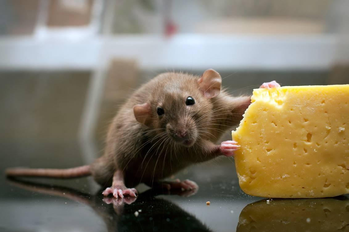 Серое братство. чем опасны крысы и мыши и как от них избавиться | природа | общество