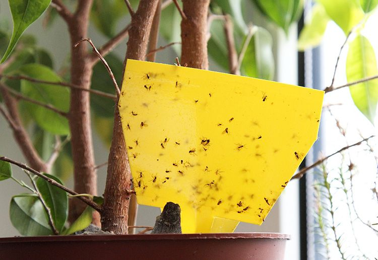 Как избавиться от мошек в комнатных цветах и горшках в домашних условиях
