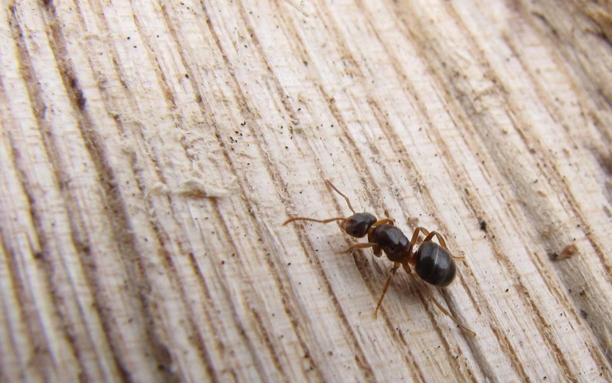 Причины появления муравьев в доме