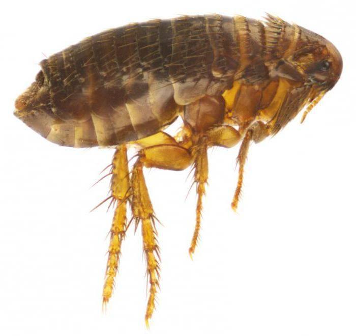 Земляные блохи в доме: полезные лайфхаки по устранению паразитов