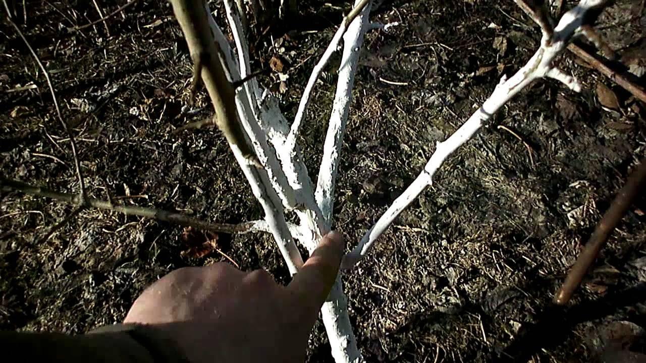 Зайцы и мыши погрызли кору яблони, что делать и как помочь дереву