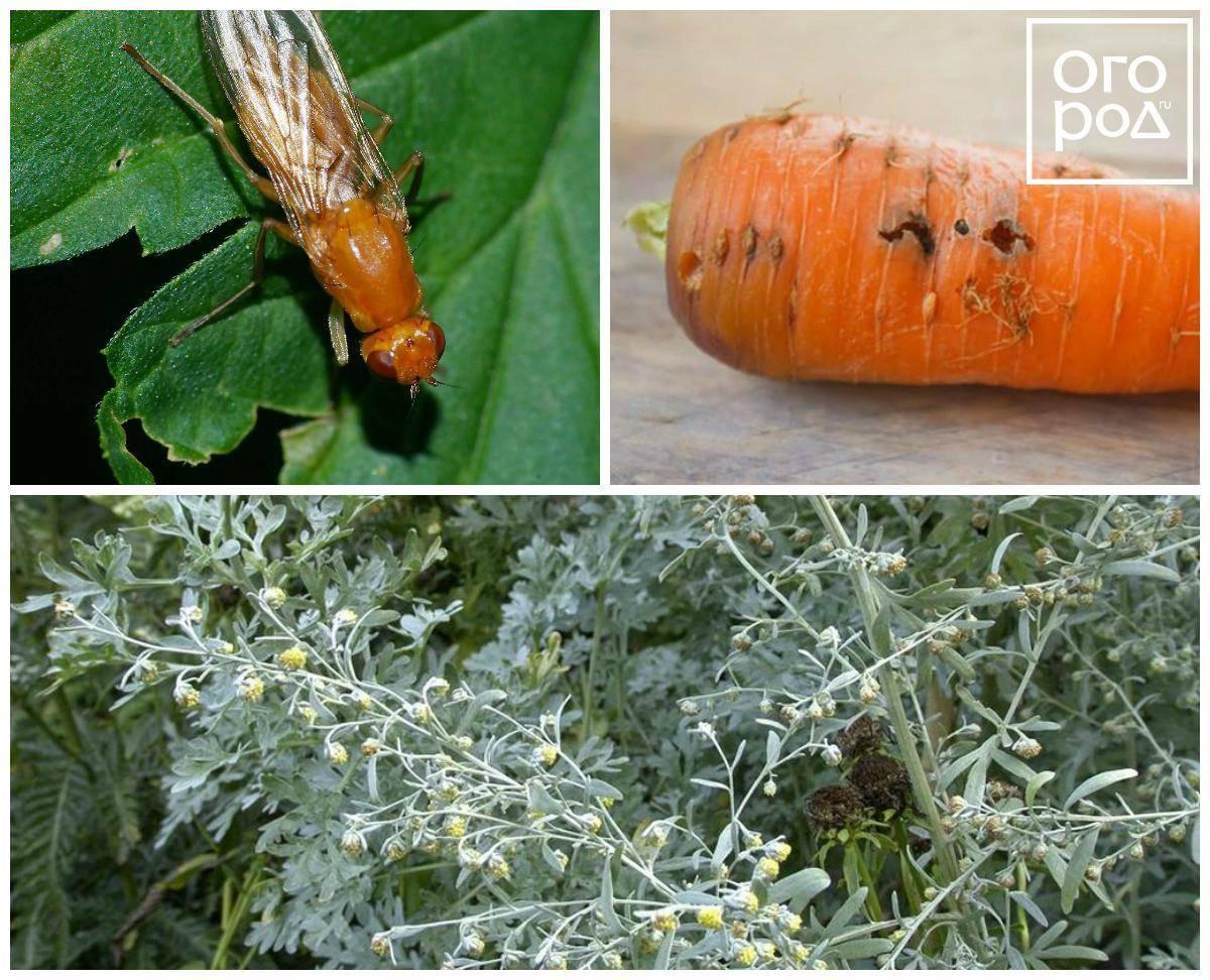 Морковная муха: как с ней бороться, чем обработать морковь на грядках, как избавиться народными средствами, химическими препаратами и нашатырным спиртом, как она выглядит (фото)