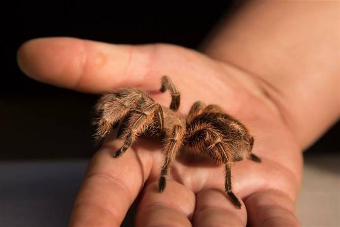 Паук тарантул (как выглядит, описание, среда обитания, питание)