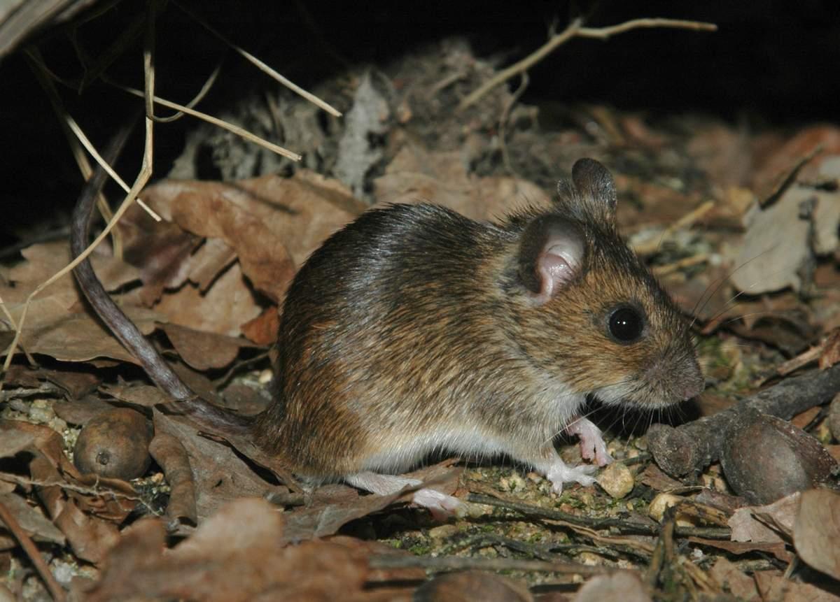 Сколько живет и как зимует мышь полевка?
