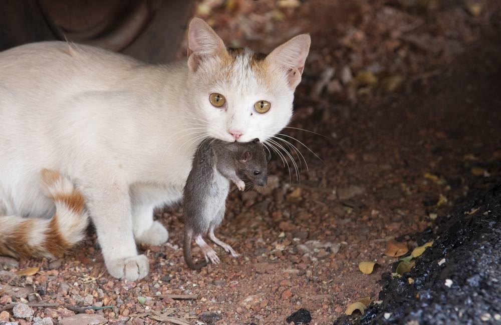 Кошка ест мышей – вредно или полезно?   энциклопедия домашних животных
