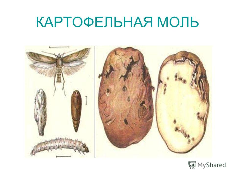 Как бороться с картофельной молью: меры борьбы при хранении