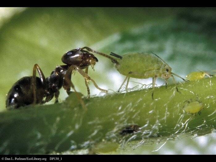 Муравьи и тля: как избавиться. информация о вредителях