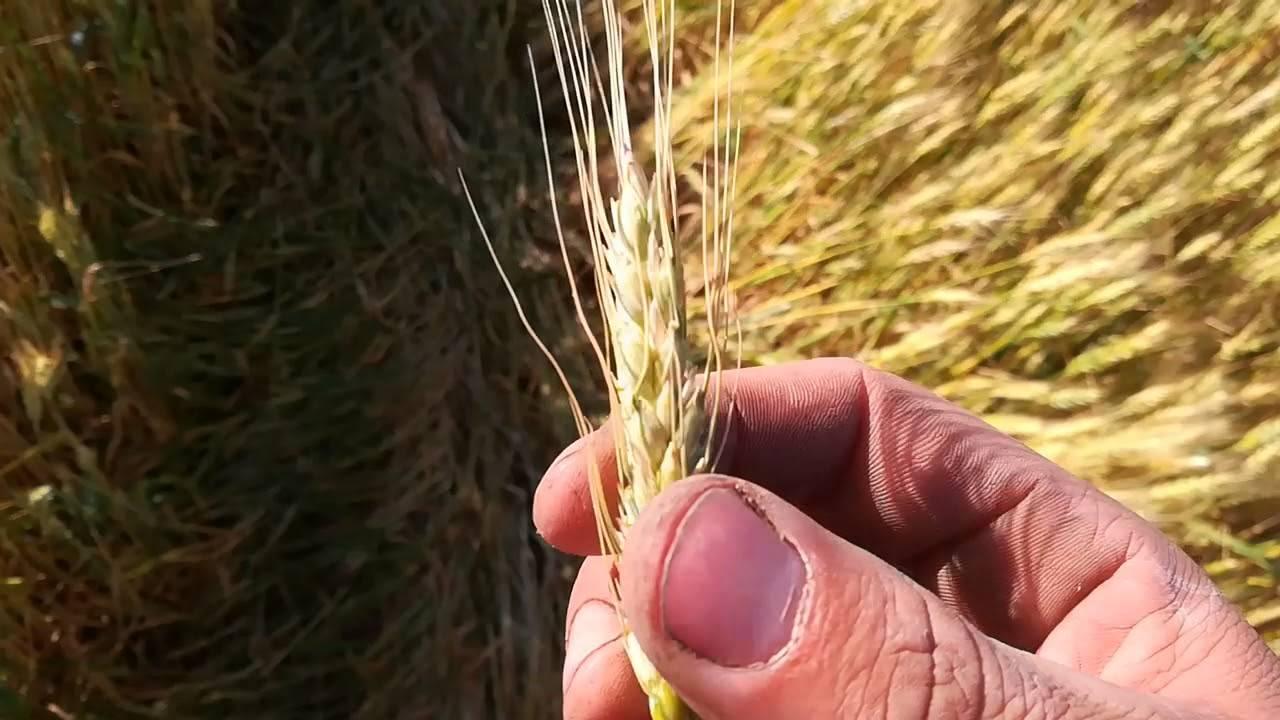 Трипс пшеничный: особенности развития и меры борьбы с вредителем