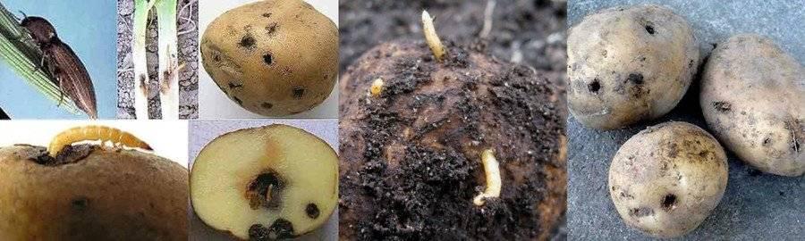 Как защитить урожай от картофельной моли: особенности фторимеи, признаки заражения, борьба с вредителем