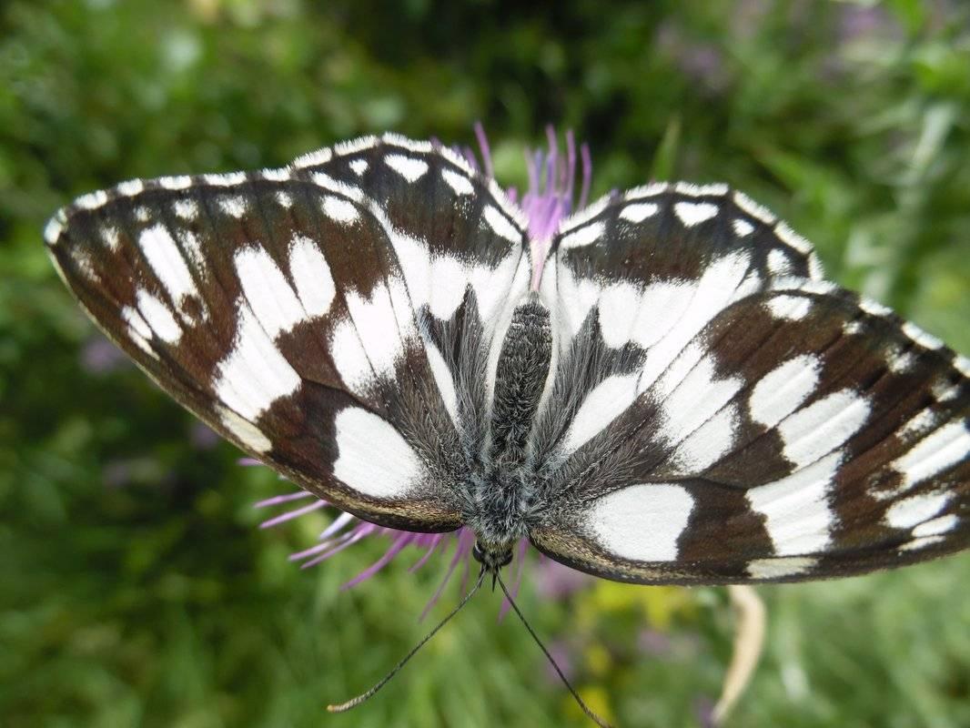 Бабочка крапивница – яркие насекомые, которых можно встретить в своем саду