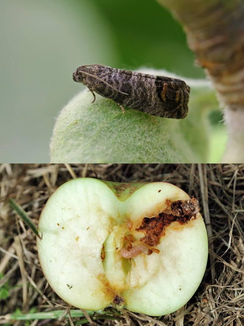 Вредитель плодожорка на яблоне: методы борьбы — химические и экологические