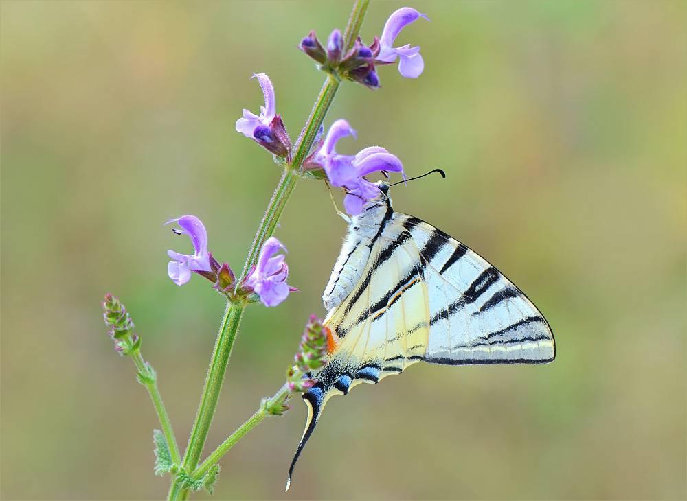 Бабочка подалирий: краткое описание, жизненный цикл, места обитания. парусник махаон