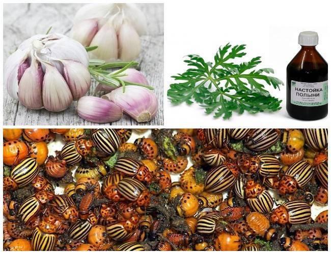 Как избавиться от колорадского жука на картошке: самые эффективные способы