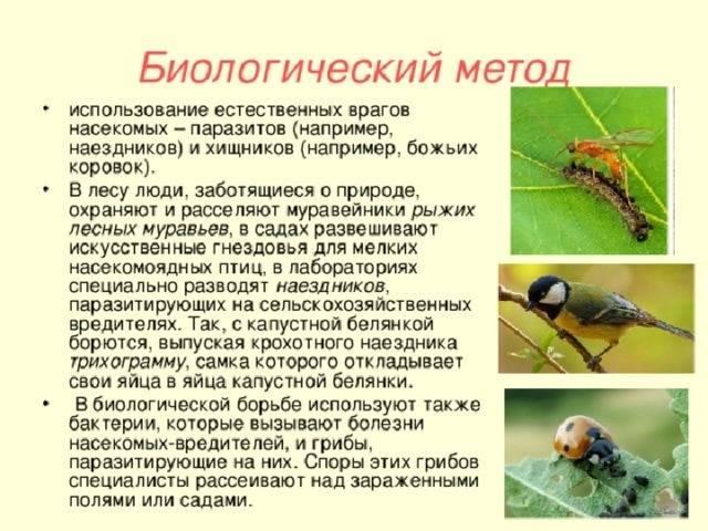 Парнопес крупный— блестящая опасность для ос бембексов