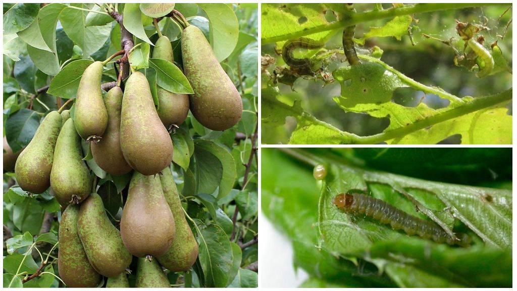 Как бороться с вредителями груши