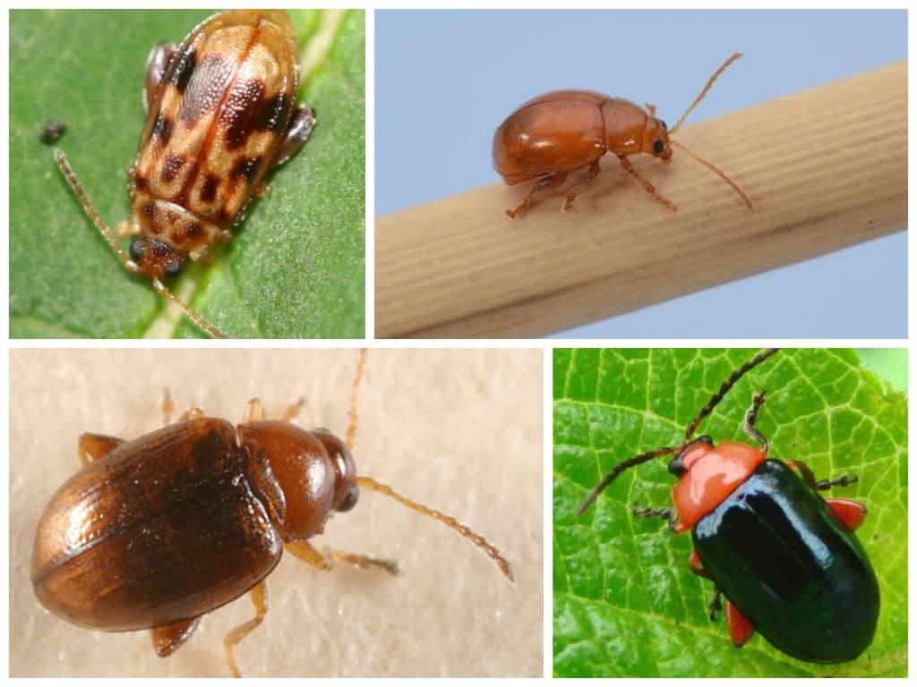 Откуда берутся земляные блохи в доме? / как избавится от насекомых в квартире