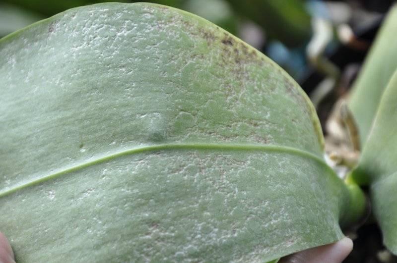 Клещ на орхидее: меры борьбы с вредителем в домашних условиях. химические и народные средства.