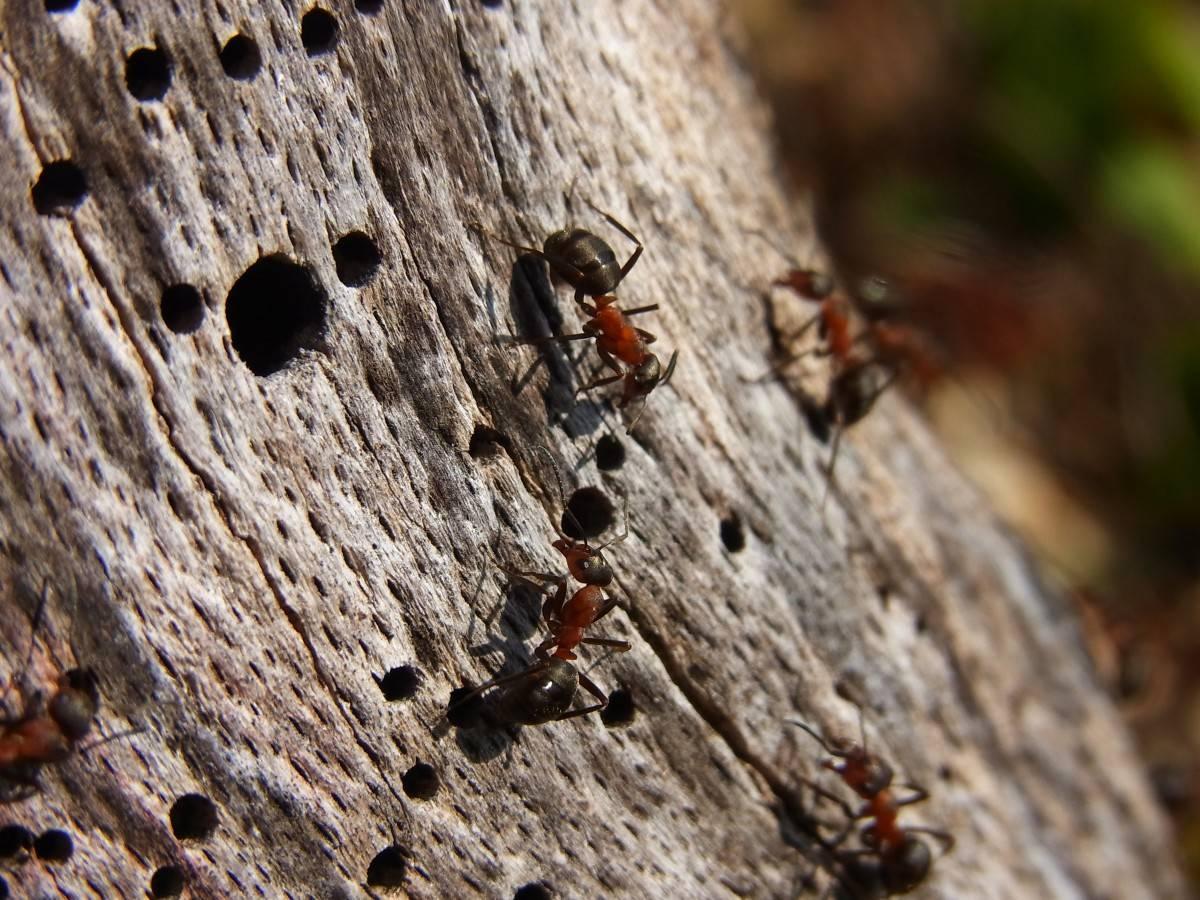 Лесные муравьи доме: как избавиться народными средствами